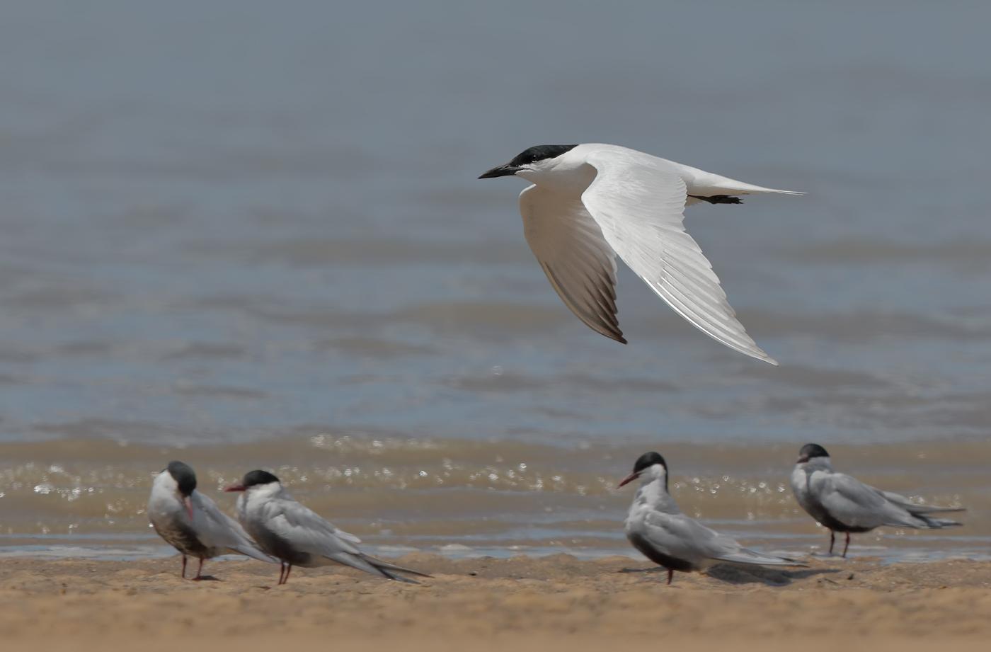 Australian Gull-billed Tern, Whiskered Tern