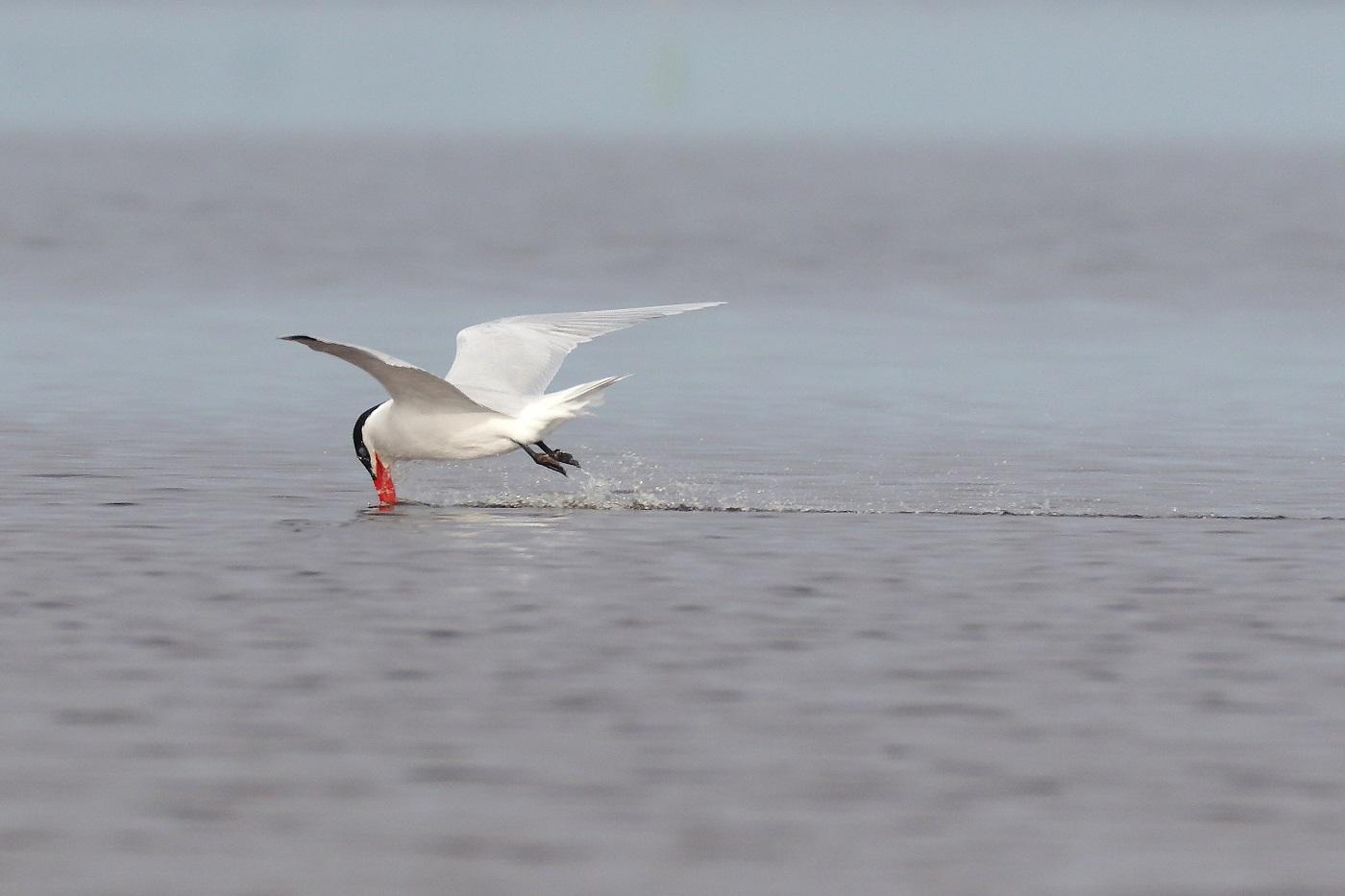 Caspian Tern (Image ID 29109)