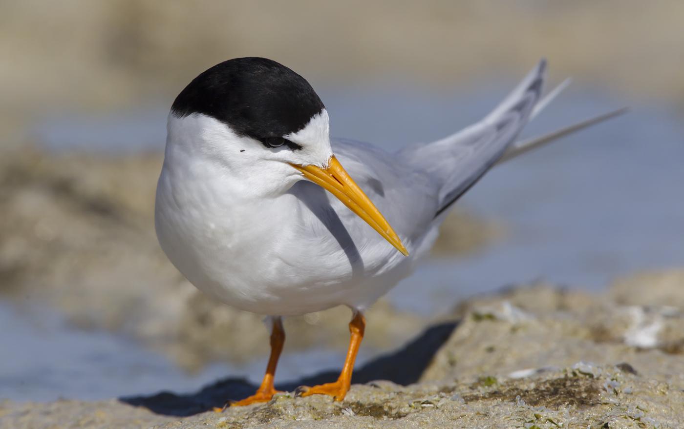 Fairy Tern (Image ID 29154)