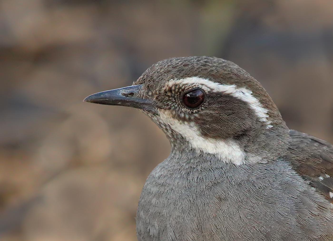 Chestnut Quail-thrush (Image ID 29159)