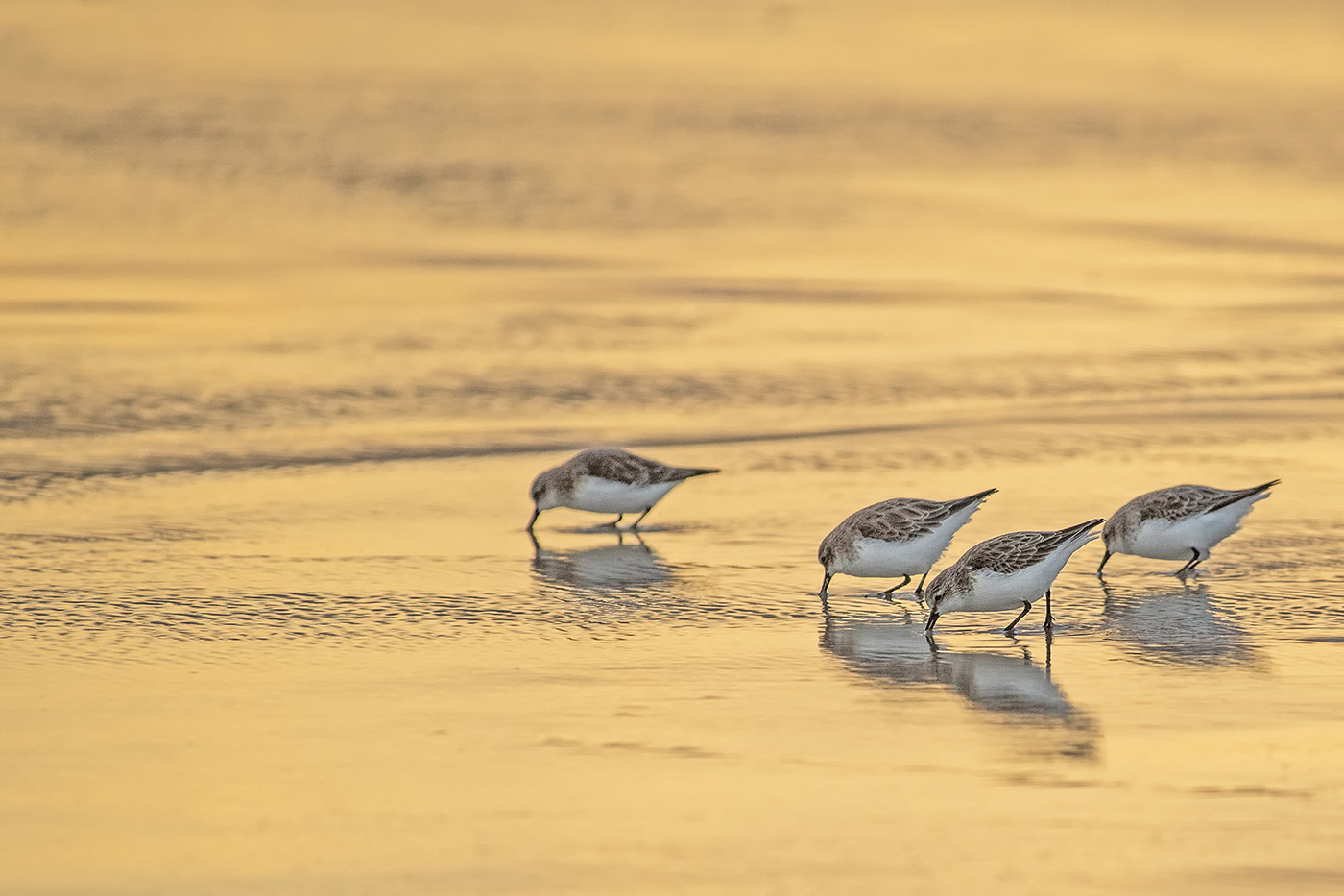 Red-necked Stint (Image ID 29288)