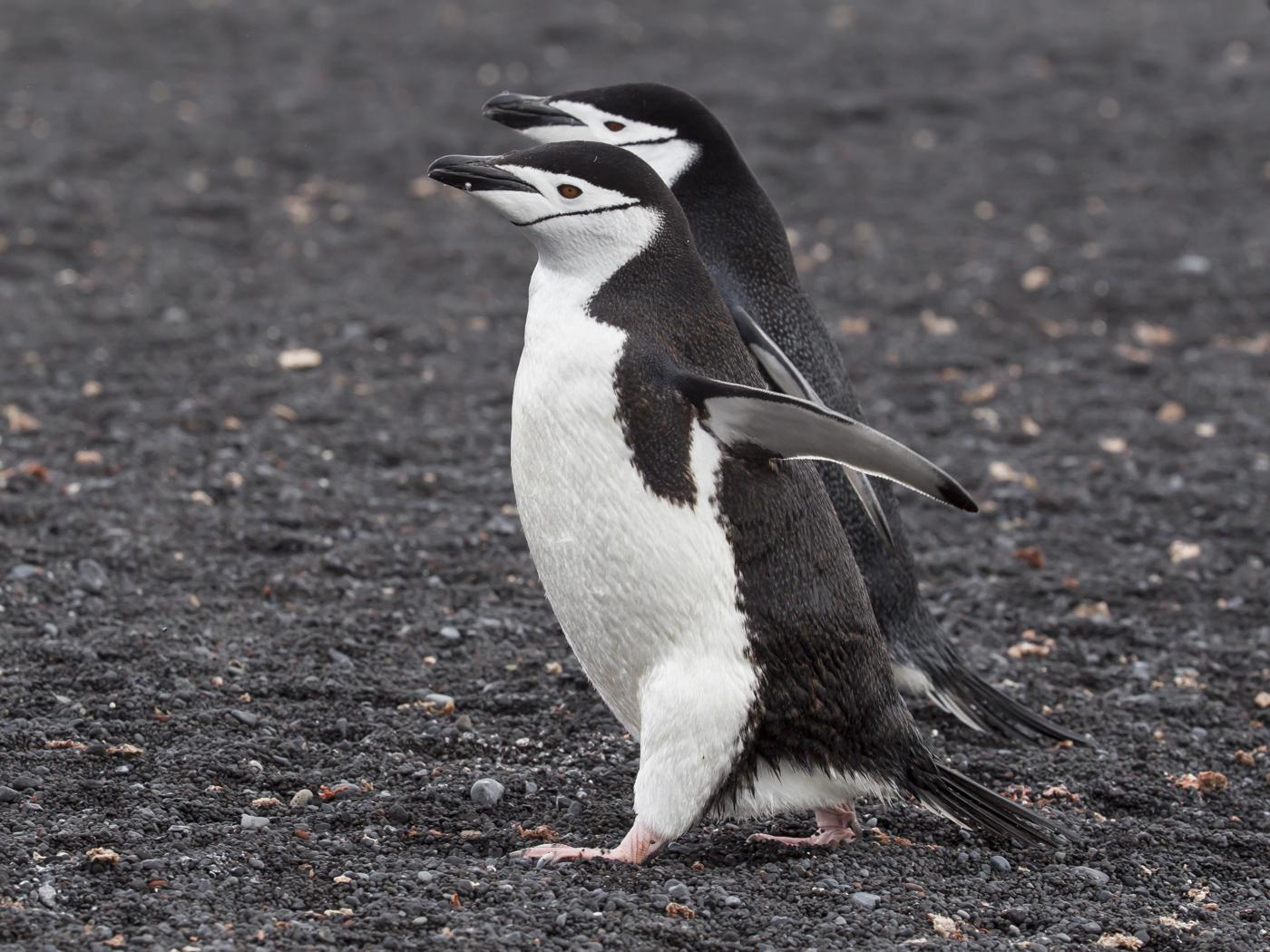 Chinstrap Penguin (Image ID 29166)