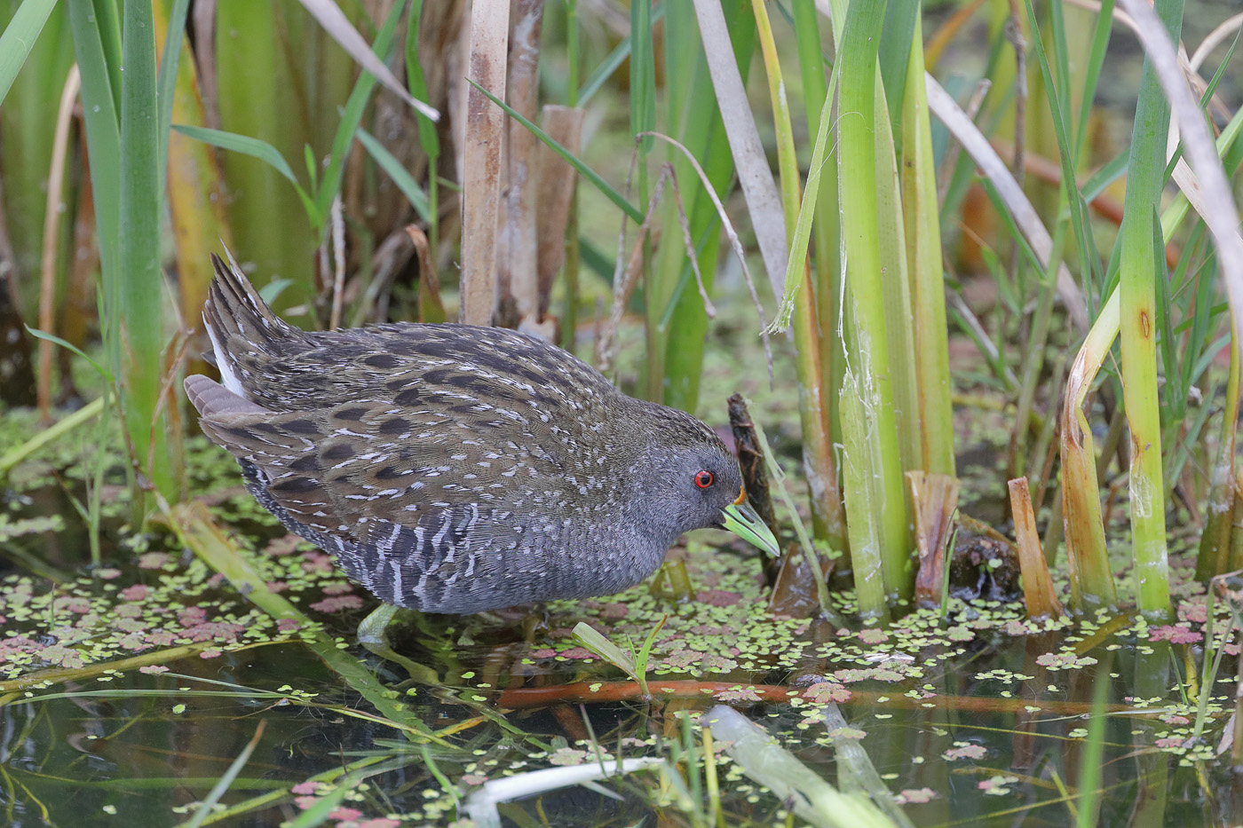 Australian Spotted Crake (Image ID 29272)