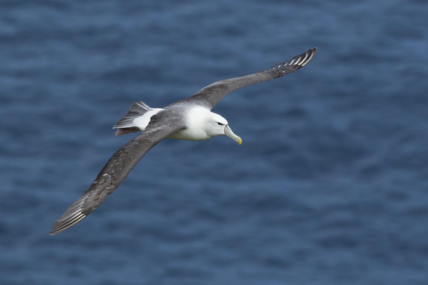 White-capped Albatross (Image ID 29188)