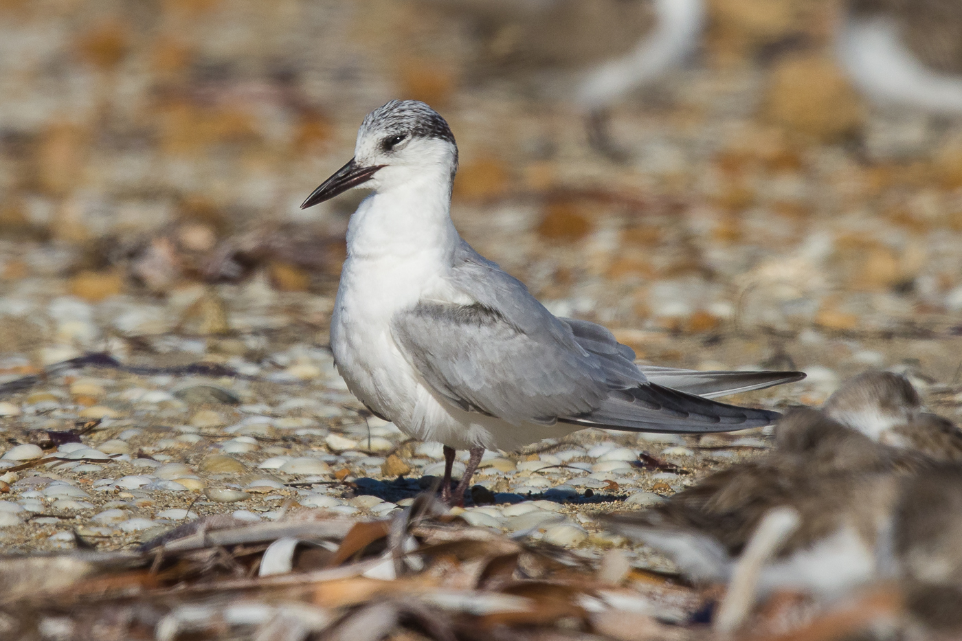 Whiskered Tern (Image ID 29270)