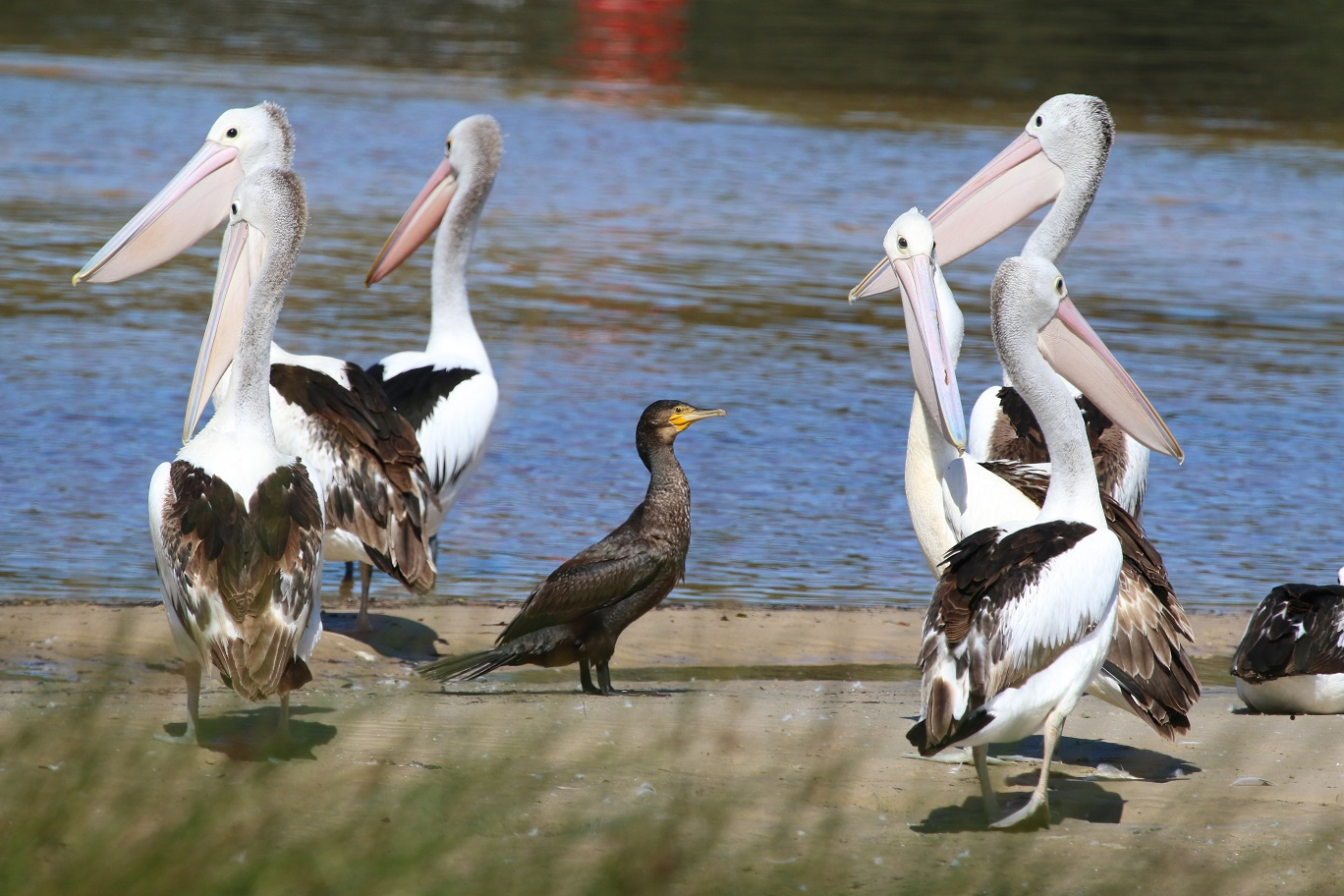 Australian Pelican, Great Cormorant