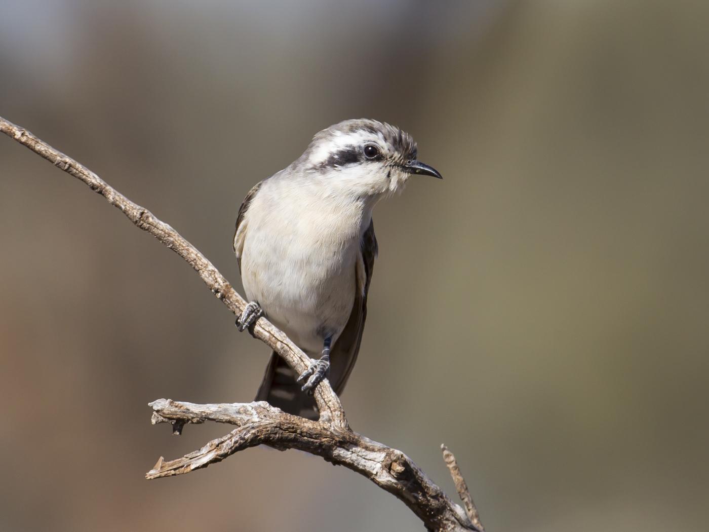 Black-eared Cuckoo (Image ID 29118)