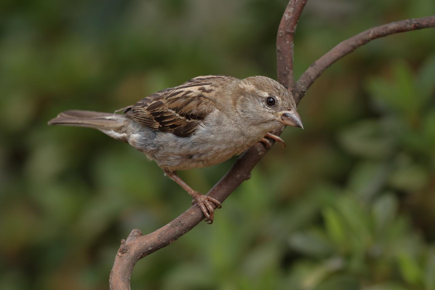 House Sparrow (Image ID 29291)