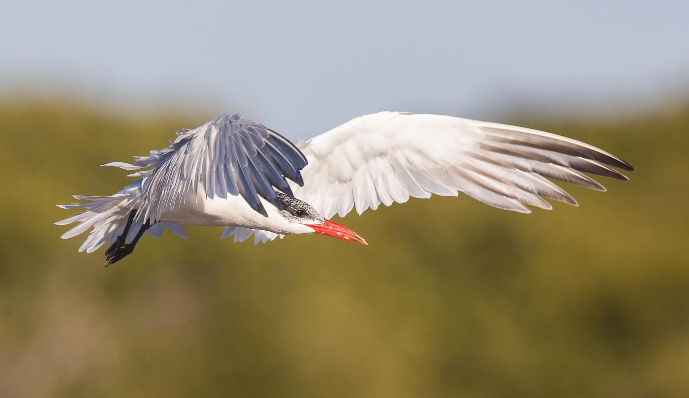 Caspian Tern (Image ID 29269)