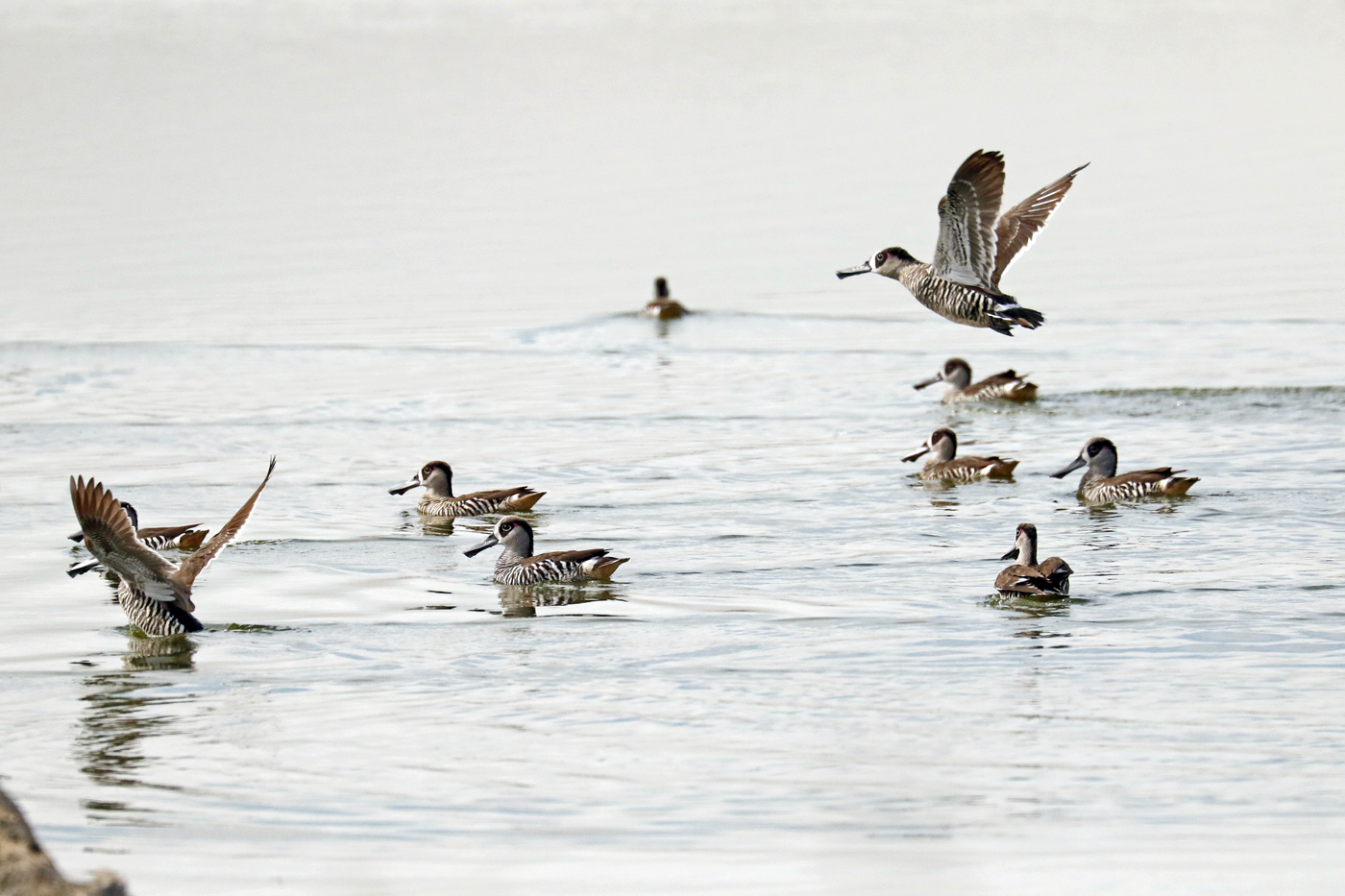 Pink-eared Duck (Image ID 29070)