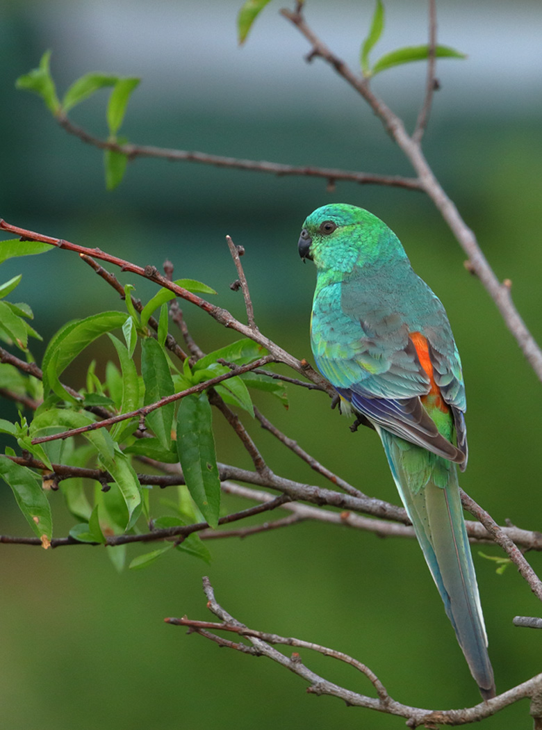 Red-rumped Parrot (Image ID 29263)