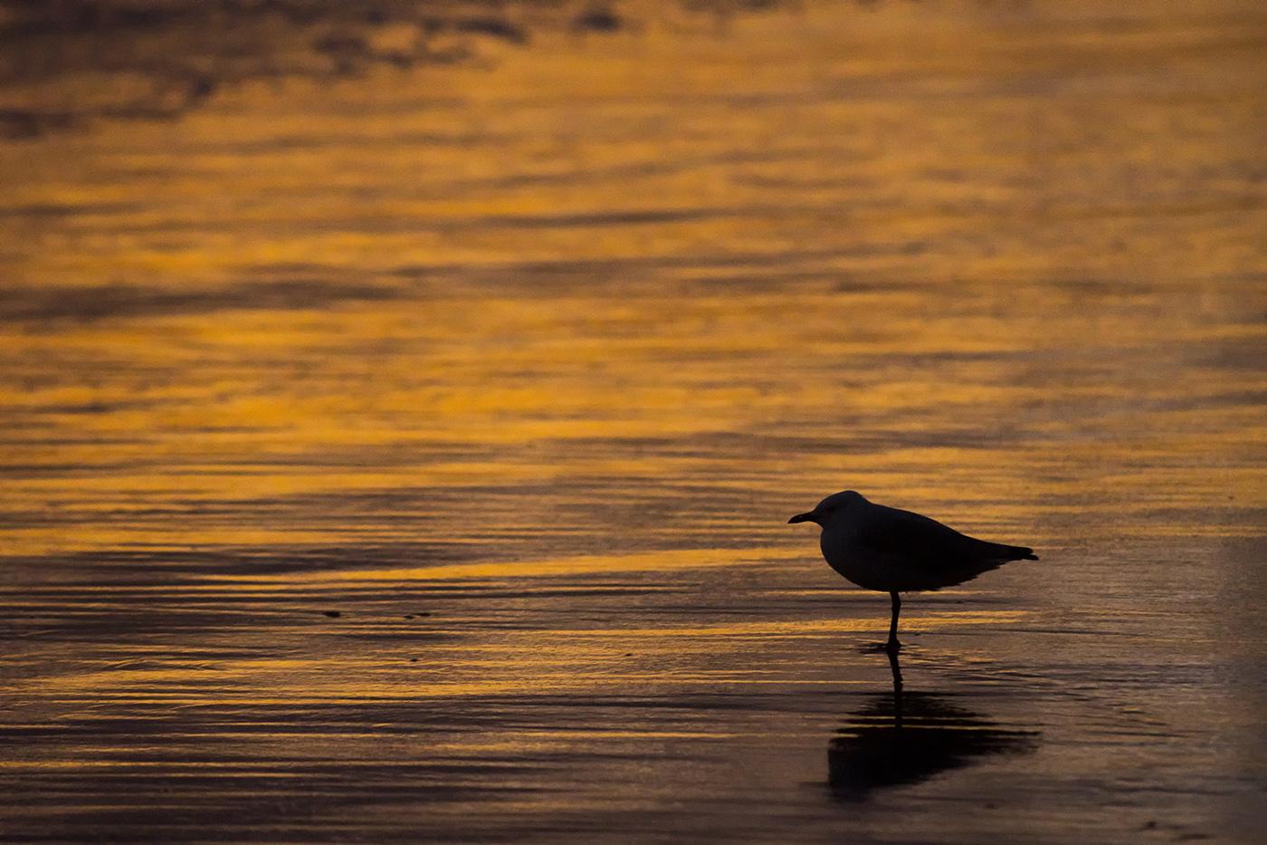 Silver Gull (Image ID 29158)