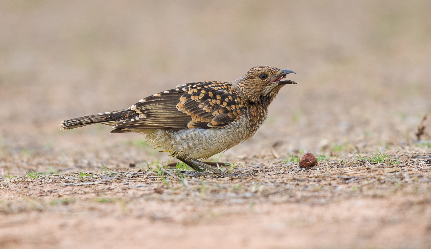 Spotted Bowerbird (Image ID 28989)