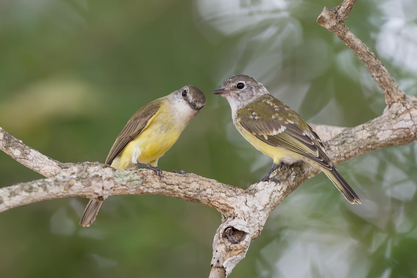 Lemon-bellied Flycatcher (Image ID 29195)