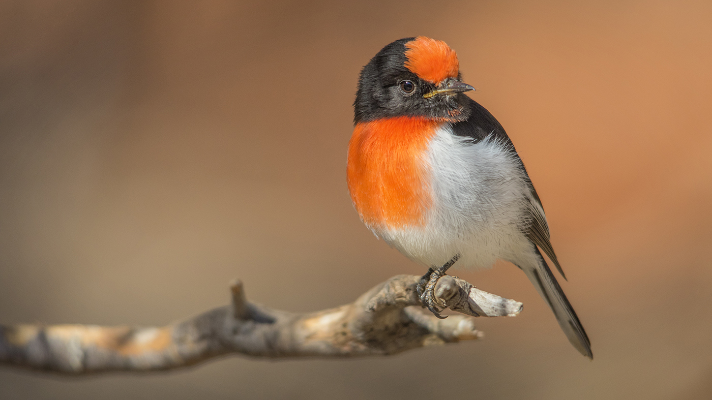 Red-capped Robin (Image ID 29257)