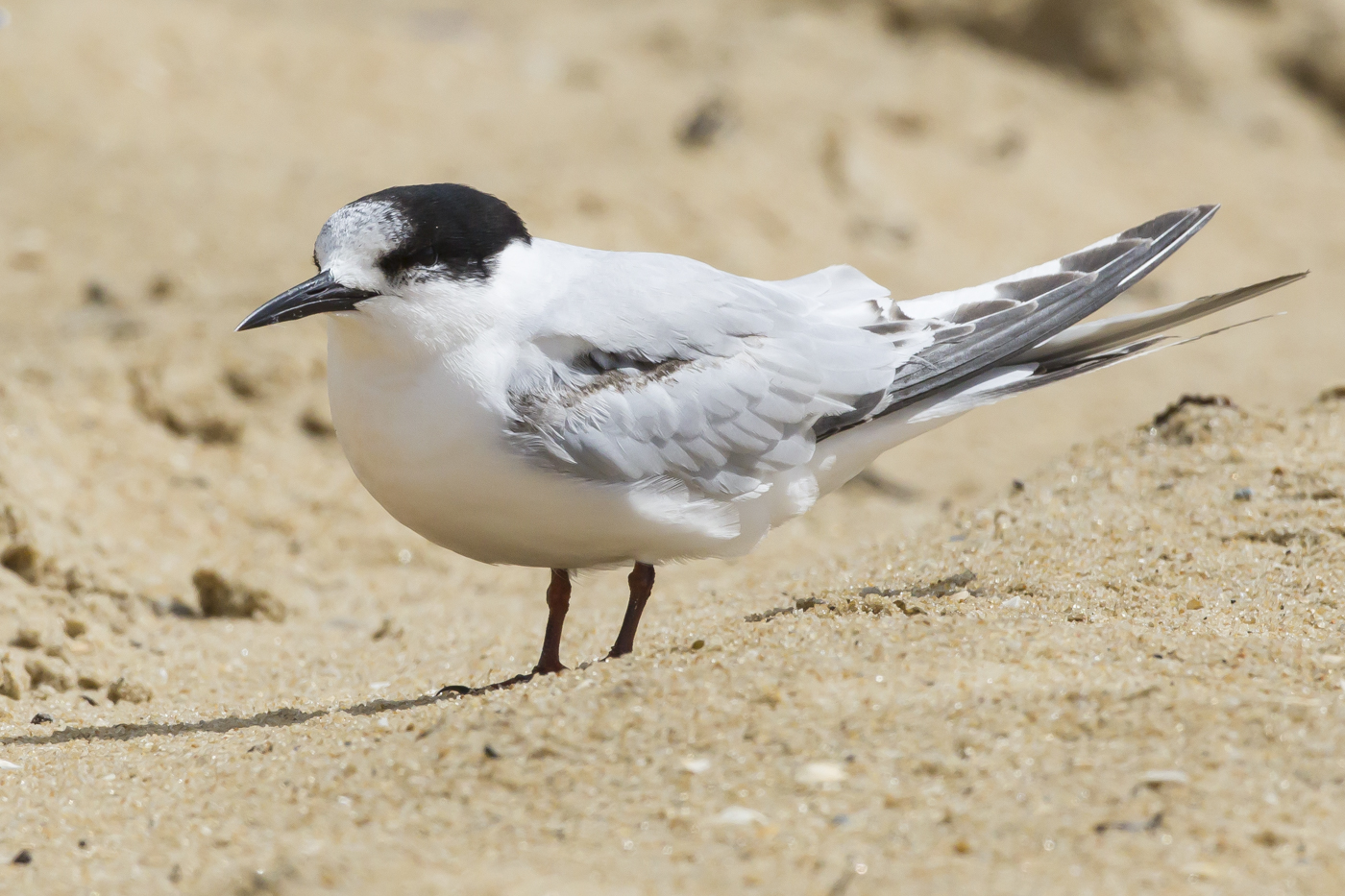 White-fronted Tern (Image ID 29153)