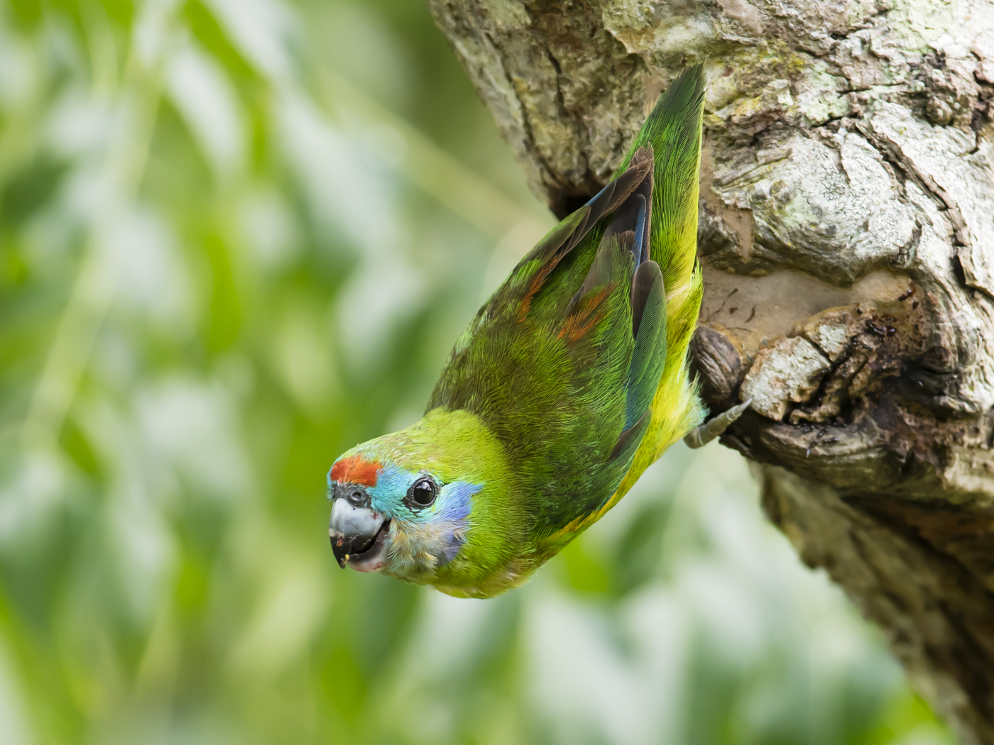 Double-eyed Fig-Parrot (Image ID 29208)