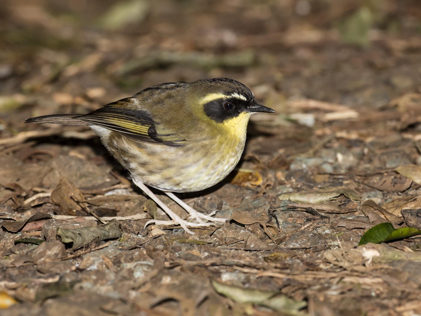 Yellow-throated Scrubwren (Image ID 29265)