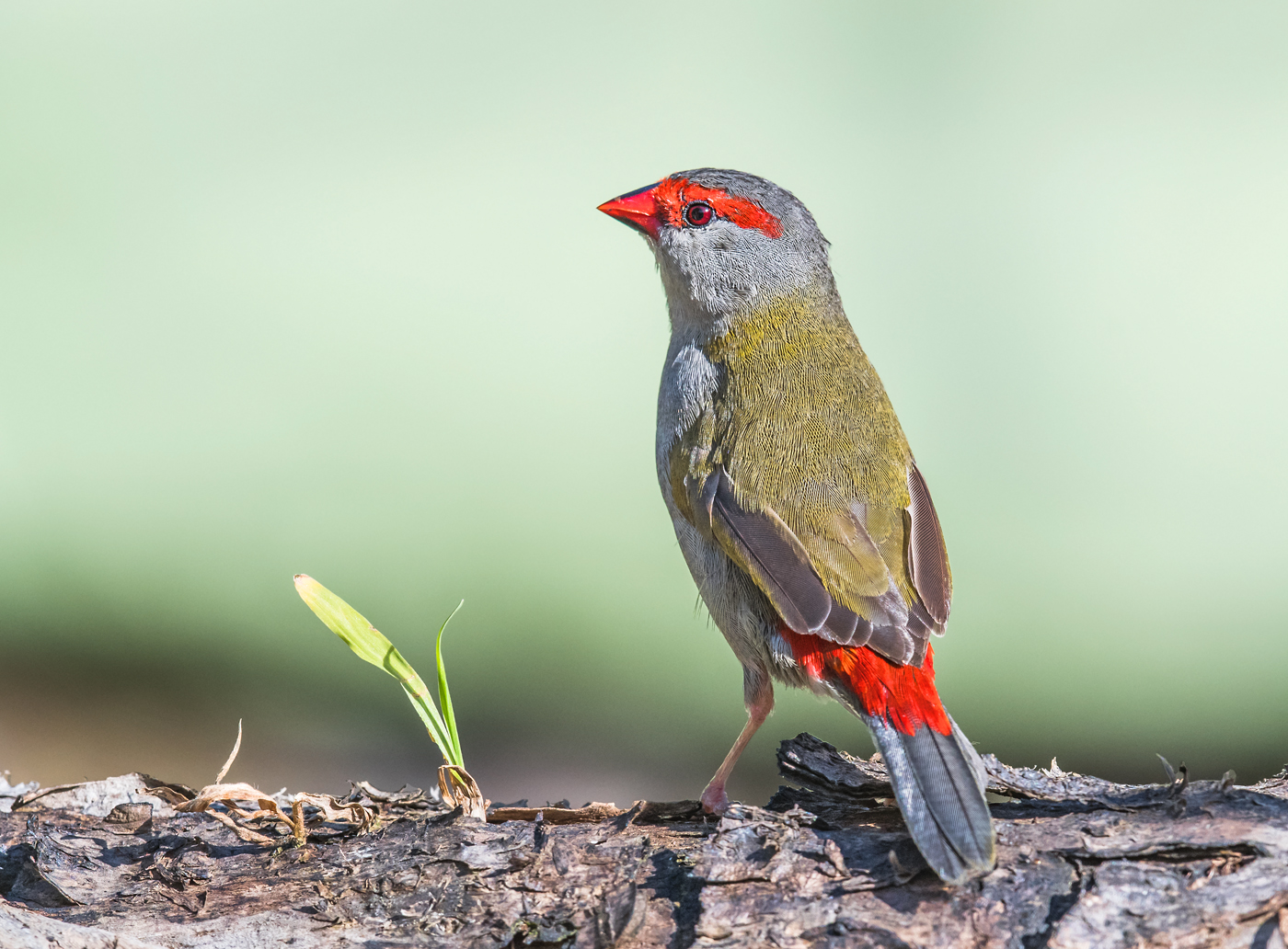 Red-browed Finch (Image ID 29066)