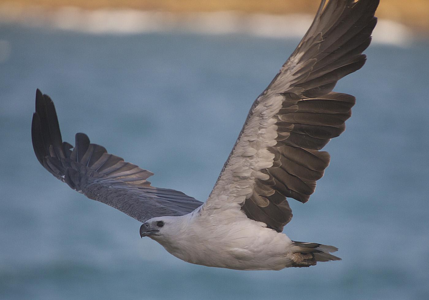 White-bellied Sea-Eagle (Image ID 29290)