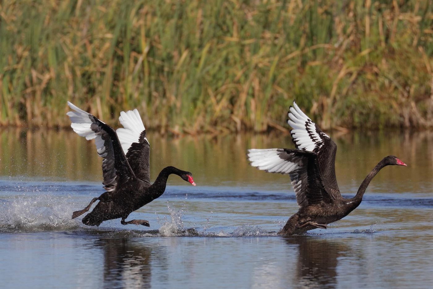 Black Swan (Image ID 29203)