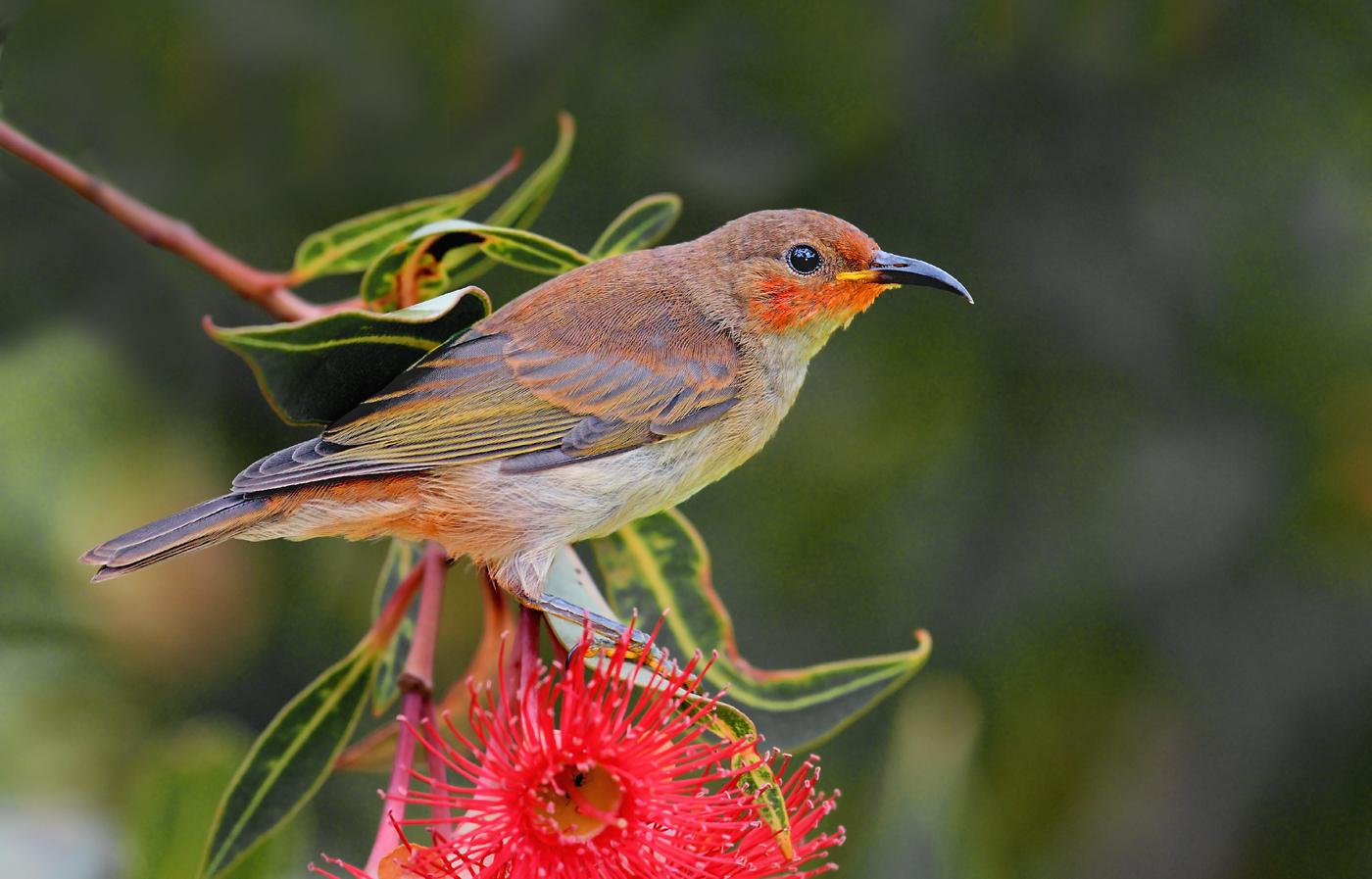 Scarlet Honeyeater (Image ID 29149)