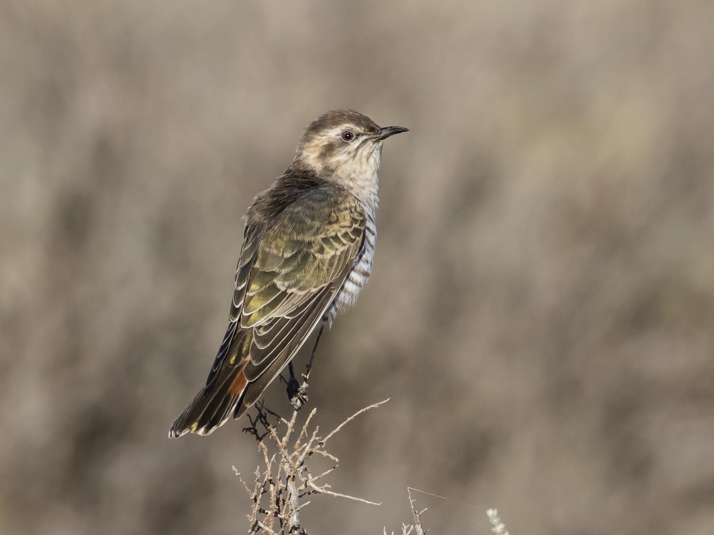 Horsfield's Bronze-Cuckoo (Image ID 29112)