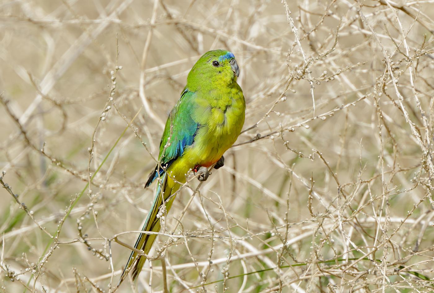 Orange-bellied Parrot (Image ID 29042)