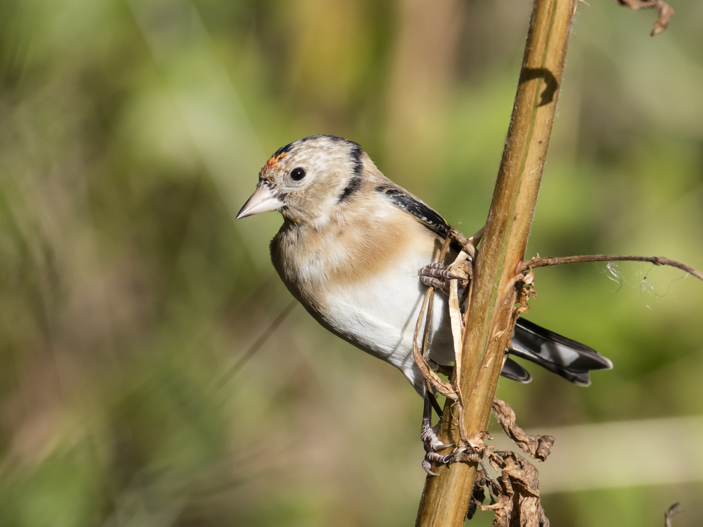 European Goldfinch (Image ID 29229)