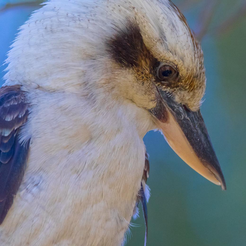 Blue-winged Kookaburra (Image ID 29196)