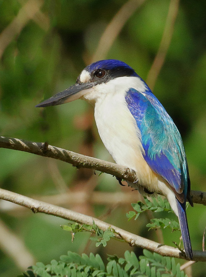 Forest Kingfisher (Image ID 29191)
