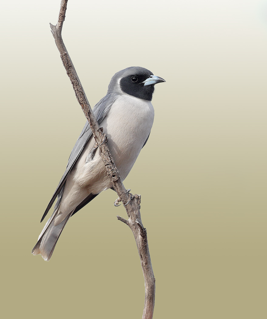 Masked Woodswallow (Image ID 29151)
