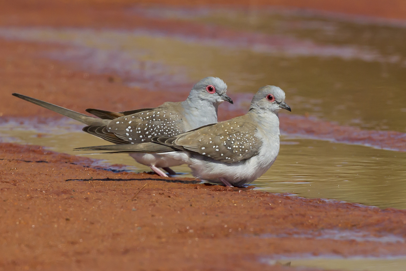 Diamond Dove (Image ID 29214)