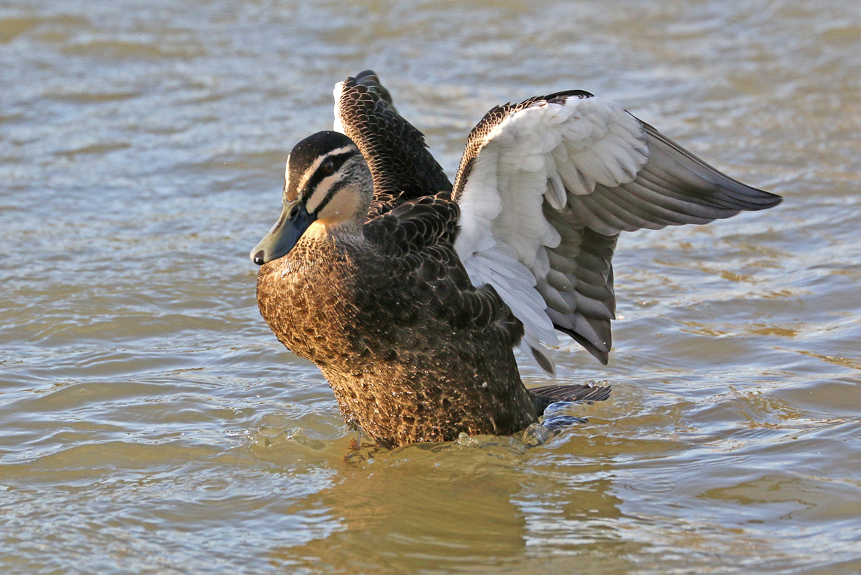 Pacific Black Duck (Image ID 29276)