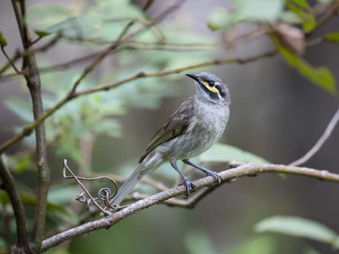 Yellow-faced Honeyeater (Image ID 29267)
