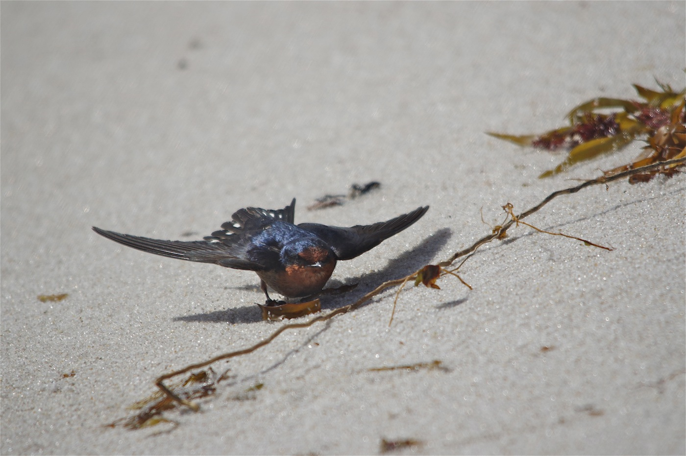 Welcome Swallow (Image ID 29293)