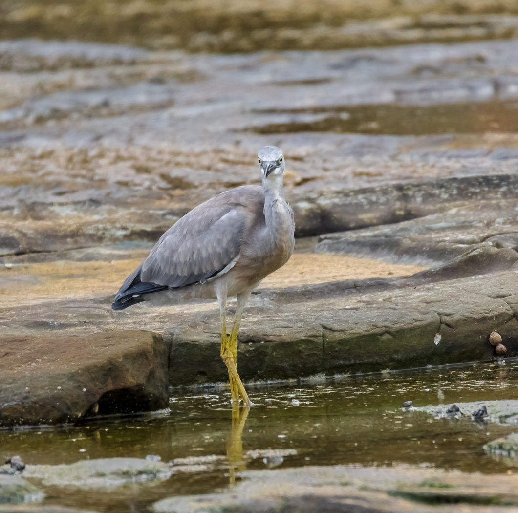 White-faced Heron (Image ID 29156)