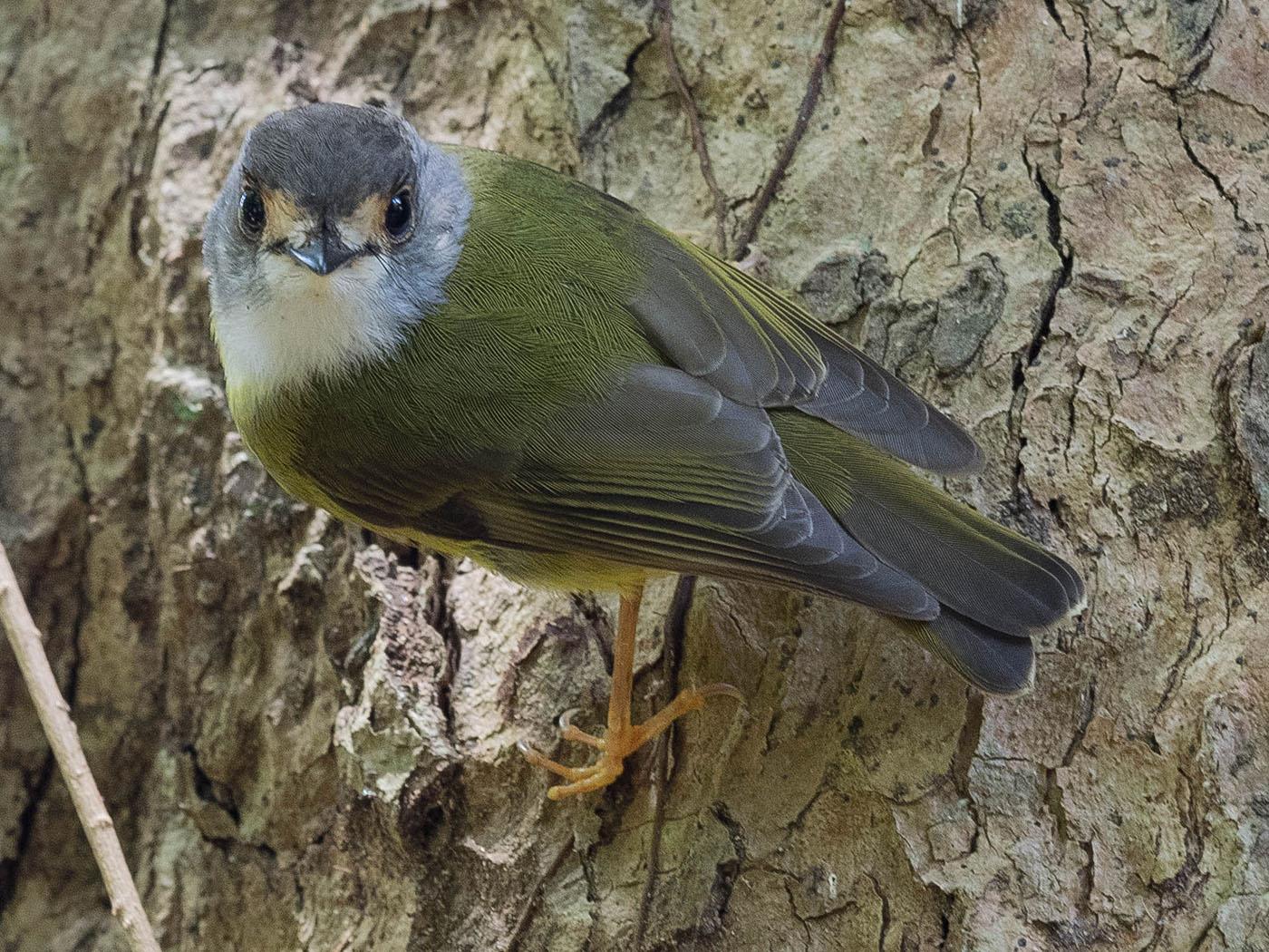 Pale-yellow Robin (Image ID 29179)
