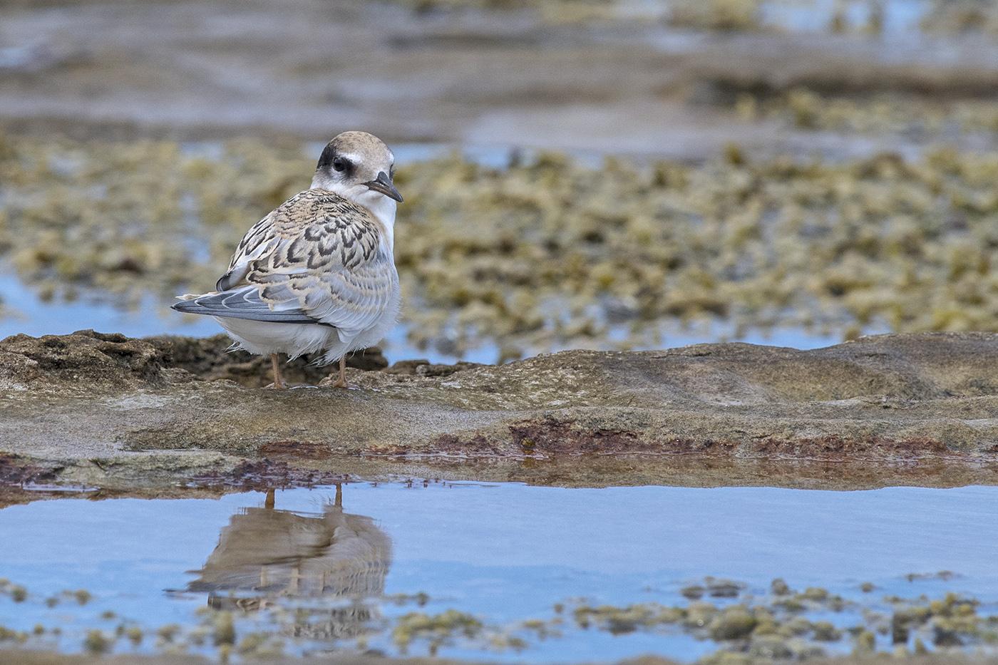 Little Tern (Image ID 29134)