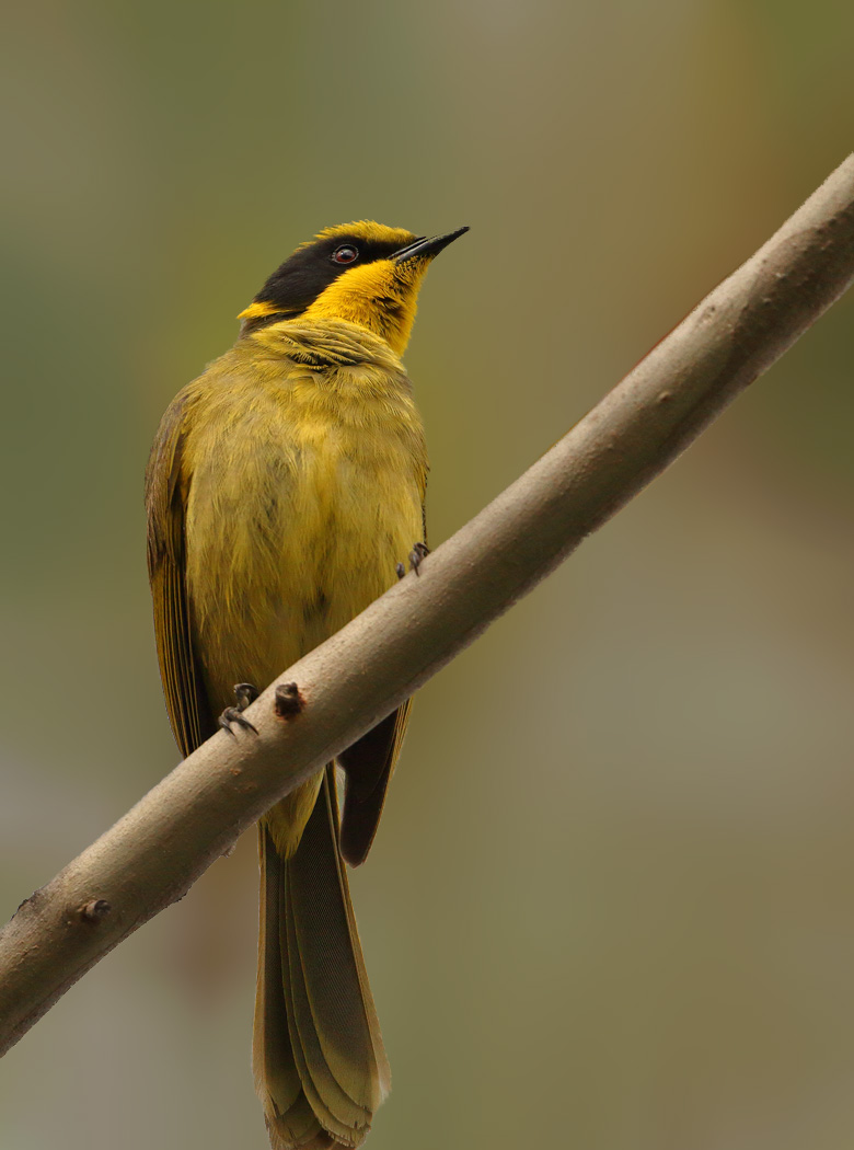 Yellow-tufted Honeyeater (Image ID 29190)