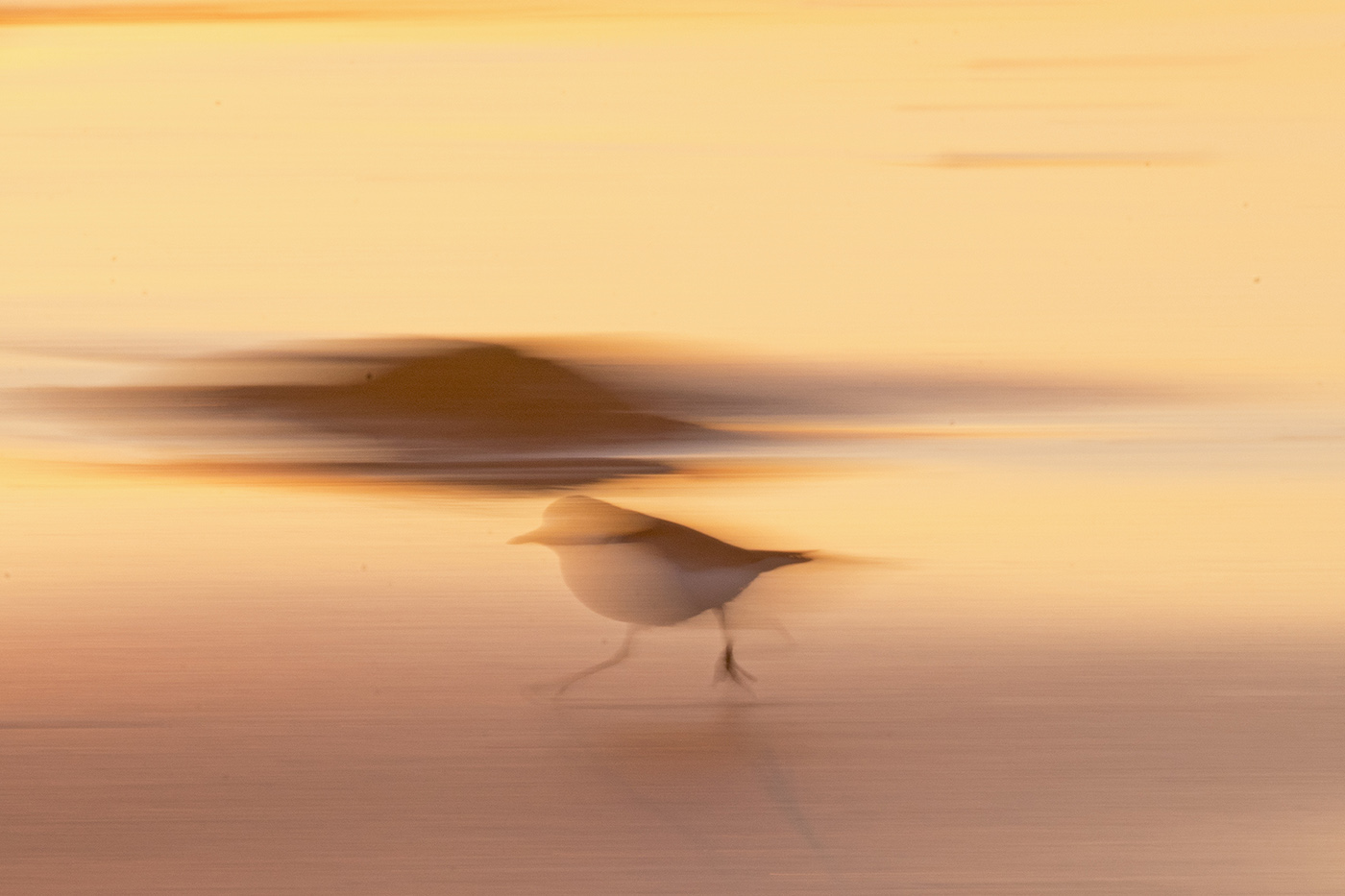 Red-capped Plover (Image ID 29287)