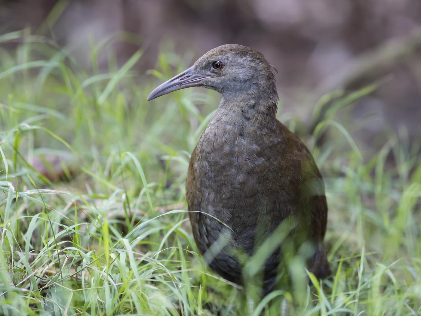 Lord Howe Woodhen