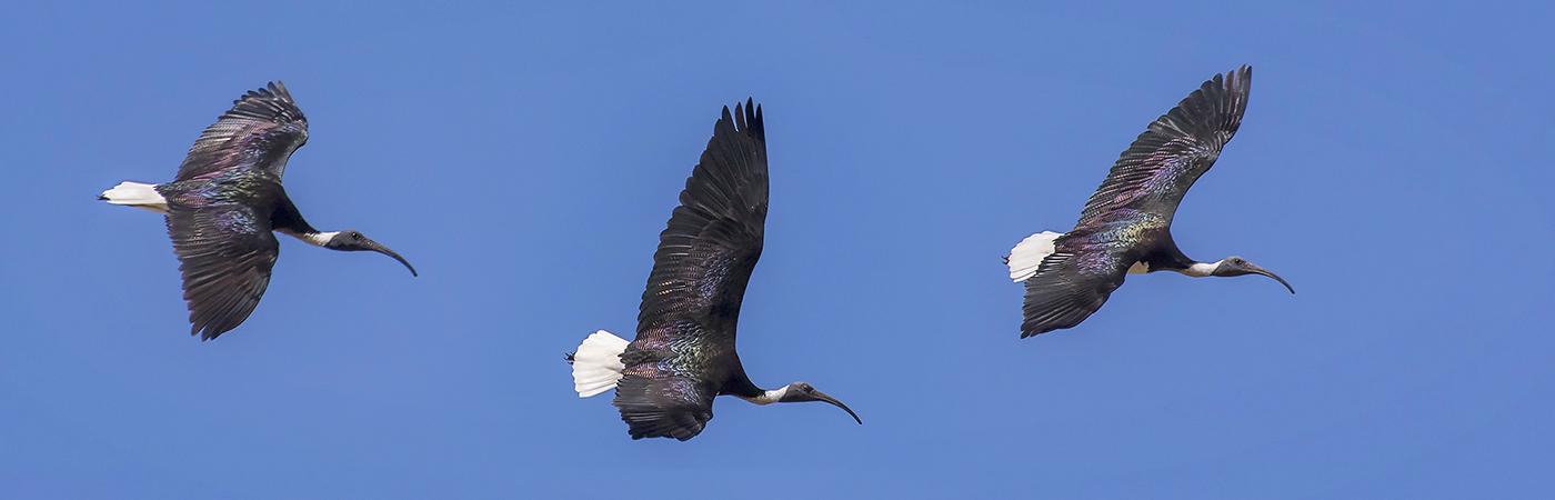 Straw-necked Ibis (Image ID 29258)