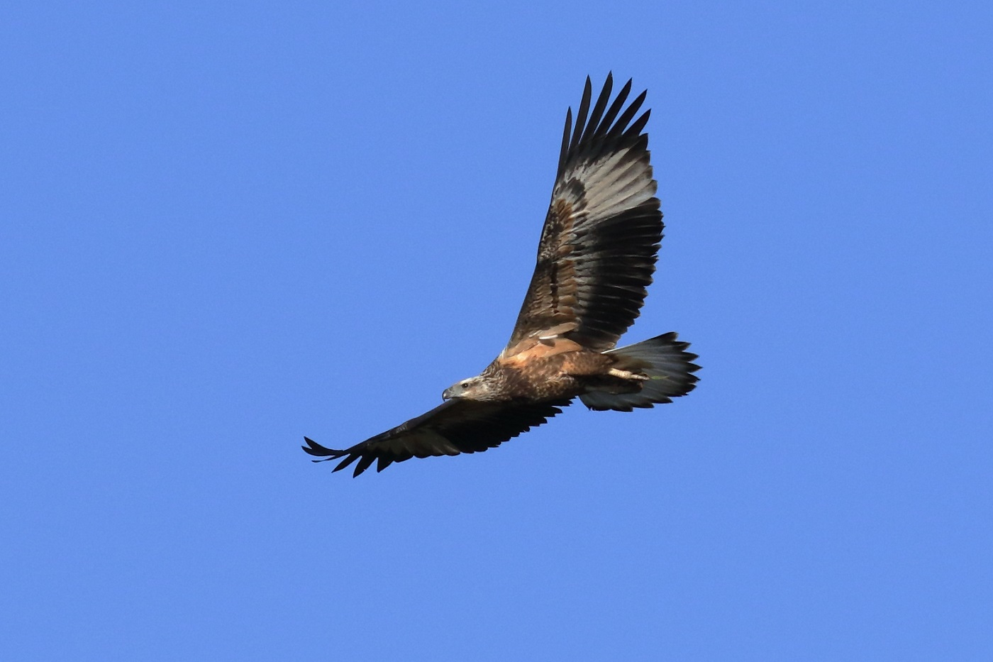 White-bellied Sea-Eagle (Image ID 29176)