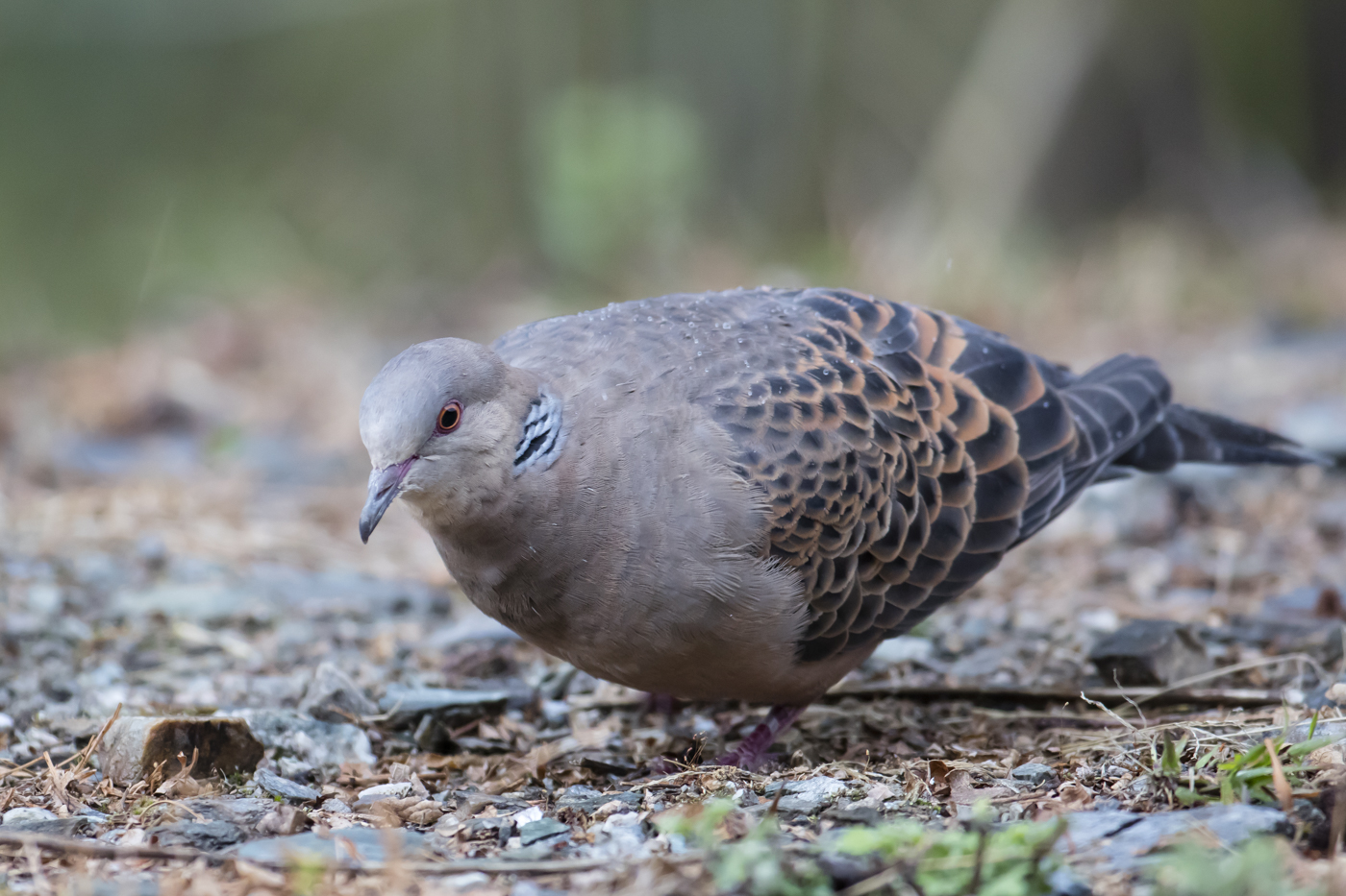 Oriental Turtle Dove (Image ID 29212)