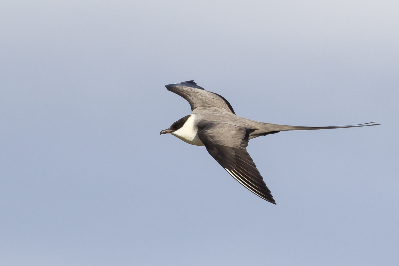 Long-tailed Jaeger (Image ID 29180)