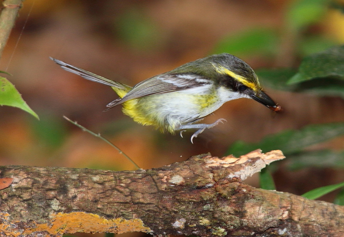 Yellow-breasted Boatbill