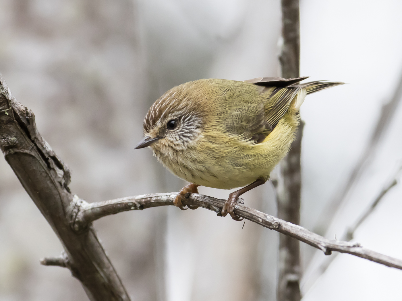 Striated Thornbill (Image ID 29089)