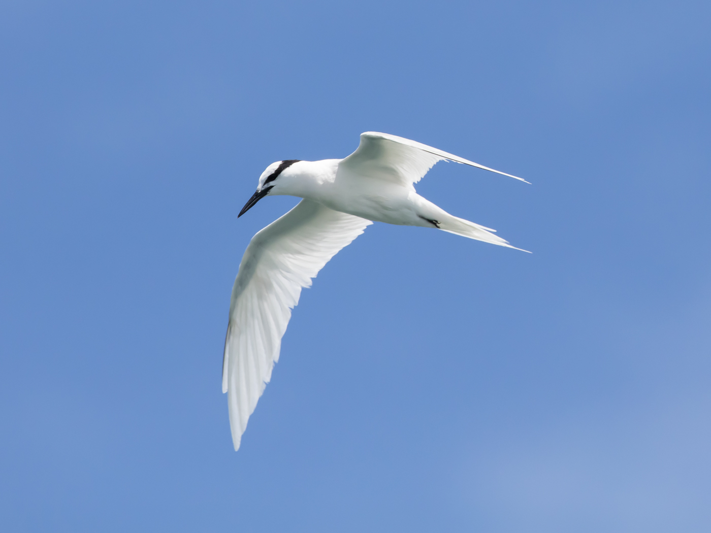 Black-naped Tern (Image ID 29152)
