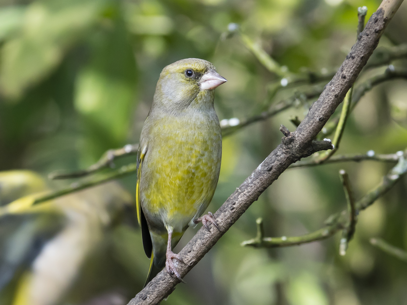 Common Greenfinch (Image ID 29228)
